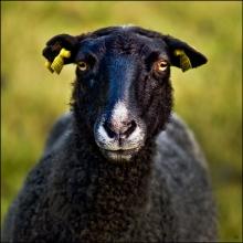 Zabels får