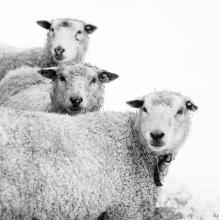 Gittans får
