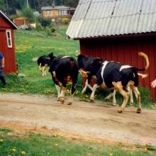 Dennis Berntsson och Helge föser kor
